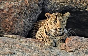 Leopard Safari at Varawal Leopard Camp   only 5hrs away