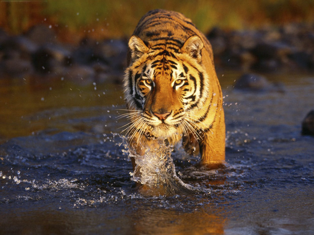 Meet the tigers with Maroon Migrates