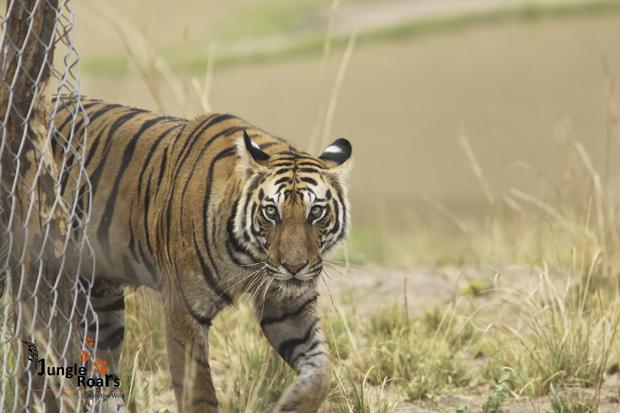 Jungle Roar - A wildlife tourism at its best