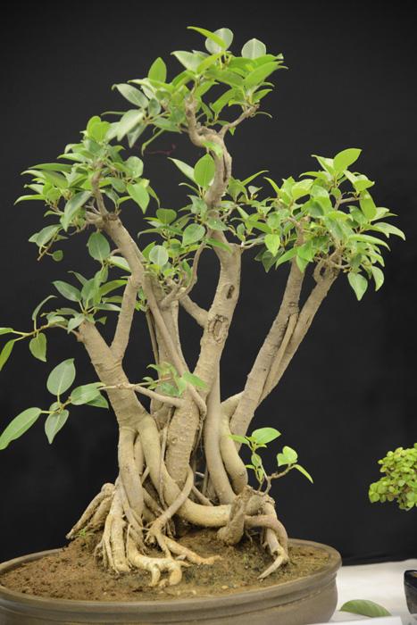 Prakruti 4 - Bonsai & Garden Show