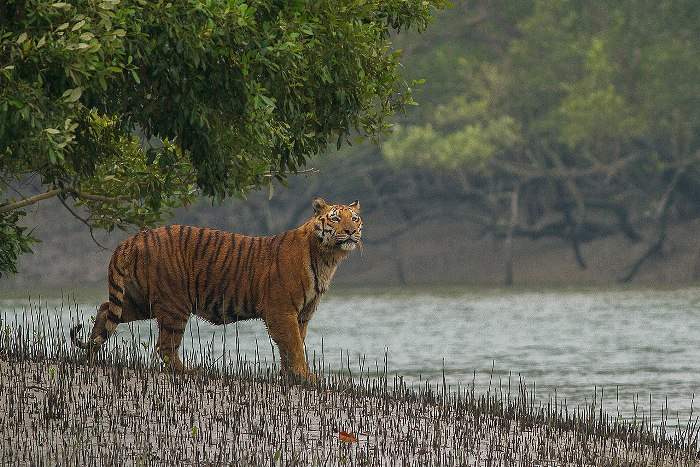 Have a Spine-Chilling Encounter with the Big Cat at Sunderba