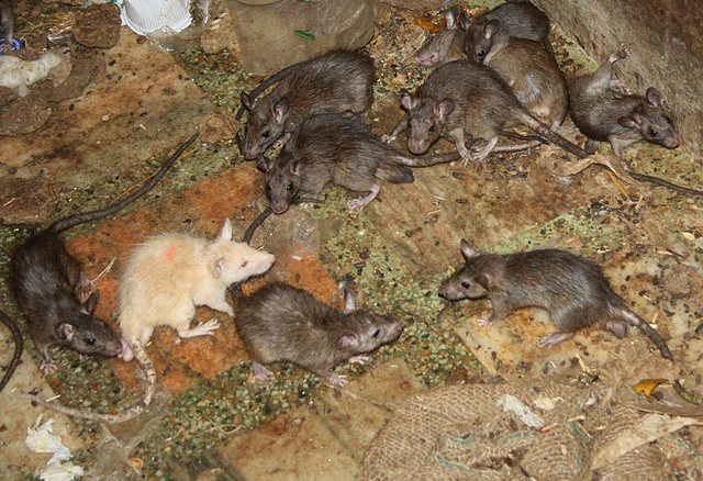 Karni Mata Temple - Rats- Rats and a Goddess
