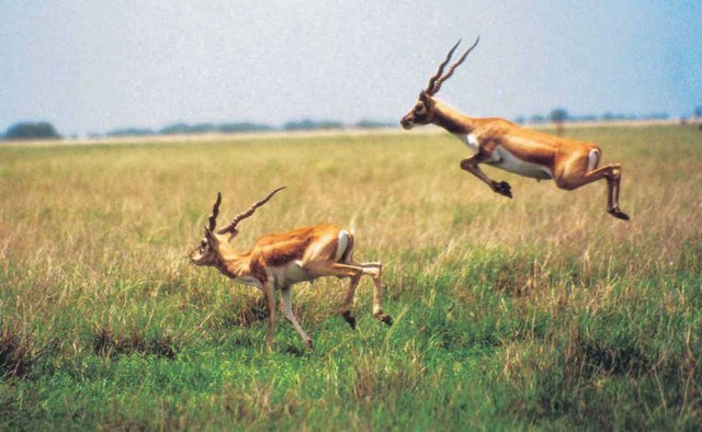 BlackBuck National Park - Velvadar